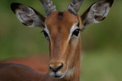 Impala Royalty Free Stock Images