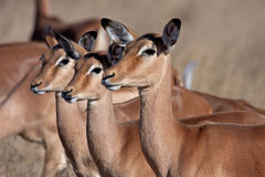 Impala. In Kruger National Park Stock Image