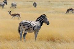 Impala. Zebras and impalas in wildlife Royalty Free Stock Photography