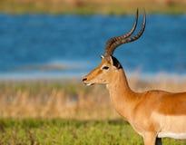 Impala Fotografie Stock