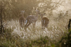 Impala. African antelopes grazing at sunset Royalty Free Stock Image