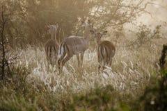 Impala Royalty Free Stock Image