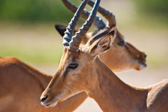 Impala. (Aepyceros melampus) in Stock Photo