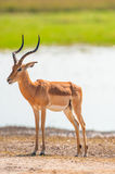 Impala. (Aepyceros melampus) in Royalty Free Stock Photography