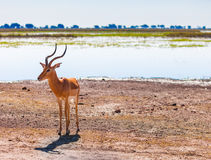 Impala. (Aepyceros melampus) in Stock Image