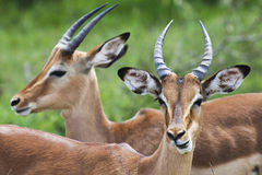 Impala. Two Impalas in Kruger Park Stock Photos