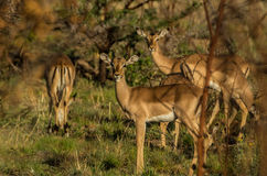 Impala Royaltyfri Bild
