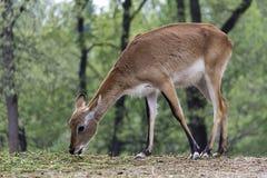 Impala Lizenzfreies Stockbild
