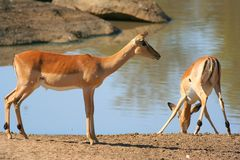 Impala. At waterhole in Africa Royalty Free Stock Image