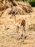 Impala Stock Photos