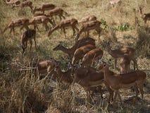 Impala Stock Afbeelding
