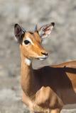 impala Stock Foto