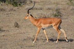 impala στοκ εικόνες