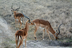 impala στοκ φωτογραφία με δικαίωμα ελεύθερης χρήσης
