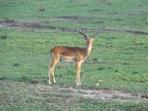 impala Immagine Stock Libera da Diritti