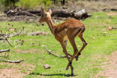 Free Impala Stock Photo - 49024280