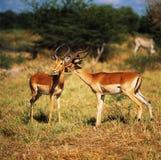 impala Arkivfoto