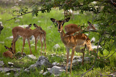 impala Fotografie Stock Libere da Diritti