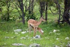 impala Fotografia Stock