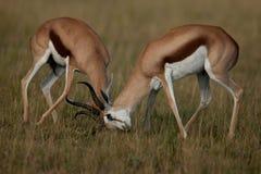 impala Photo libre de droits