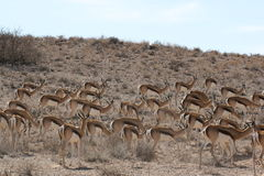 Impala Stock Images