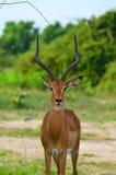 impala Immagini Stock Libere da Diritti