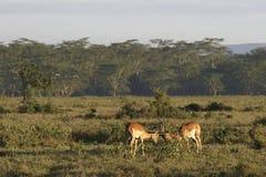 impala Royaltyfri Foto