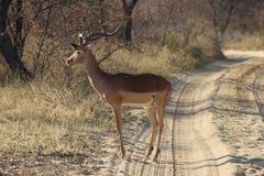 impala Стоковая Фотография