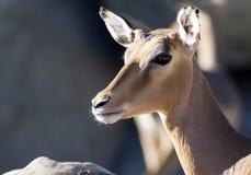 impala Стоковые Изображения