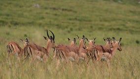 impala Arkivfoton