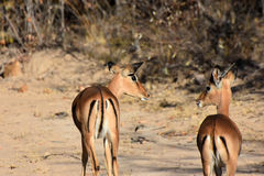 impala Images stock