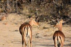 impala Lizenzfreie Stockfotos