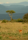Impala and acacia Stock Images