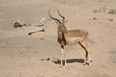 Impala, Aeplyceros-melampus Royalty-vrije Stock Afbeeldingen