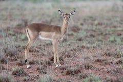 Impala, Aeplyceros-melampus Stock Afbeelding