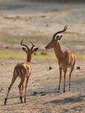 Impala (Aepyceros melampus) Lizenzfreies Stockbild