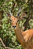 Impala - Aepyceros melampus Lizenzfreie Stockfotografie