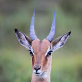 Impala (Aepyceros melampus) Fotografia Royalty Free