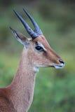 Impala (Aepyceros melampus) Zdjęcie Royalty Free
