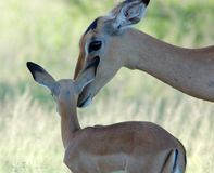 Impala: Aepyceros Melampus. A caring female Impala antelope mother with her young in the Kruger National Park, South Africa Stock Images
