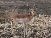 Impala, Aepyceros melampus Lizenzfreies Stockbild