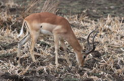 Impala, Aepyceros melampus obraz stock