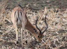 Impala, Aepyceros melampus Lizenzfreie Stockfotos