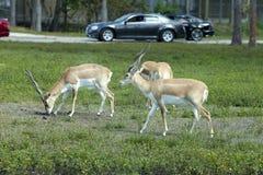 Impala (Aepyceros melampus) Stockfoto