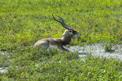 Impala (Aepyceros melampus) Lizenzfreie Stockbilder