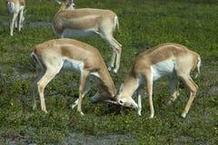 Impala (Aepyceros melampus) Stockfotos