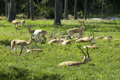 Impala (Aepyceros melampus) Lizenzfreie Stockfotografie
