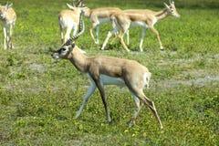 Impala (Aepyceros melampus) Lizenzfreie Stockfotos