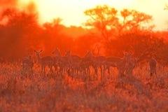 Impala, Aepyceros-melampus Royalty-vrije Stock Afbeeldingen