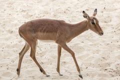 Impala Aepyceros melampus Lizenzfreies Stockbild
